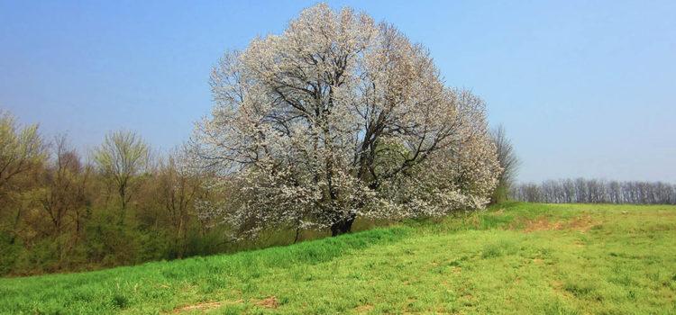fioritura ciliegio secolare besana in brianza vojagon vergo zoccorino via cremonina
